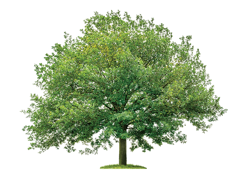Oak-Tree-Transparent-Background